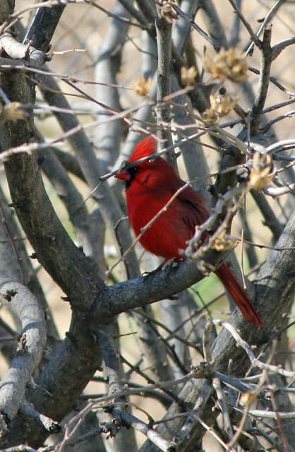 A red male cardinal perched on a tree branch in my yard
