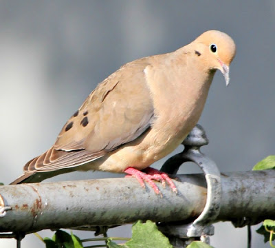 A mourning dove perched on the fence