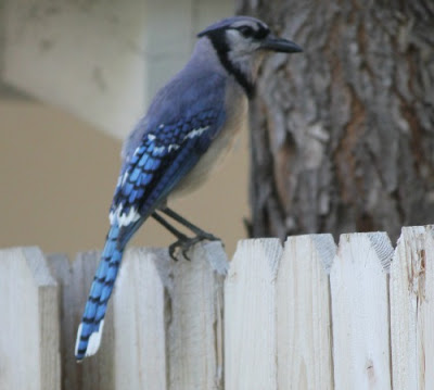 A blue jaw sitting on my fence