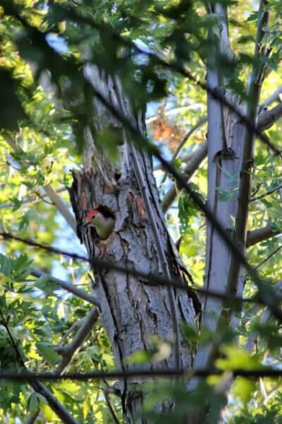 Mr. Woody Woodpecker