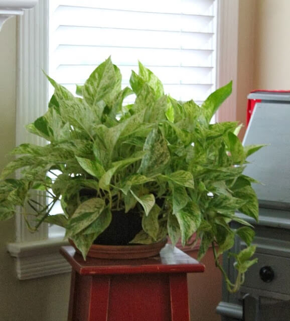 A variegated philodendron, lush and pretty, on a plant stand in my living room