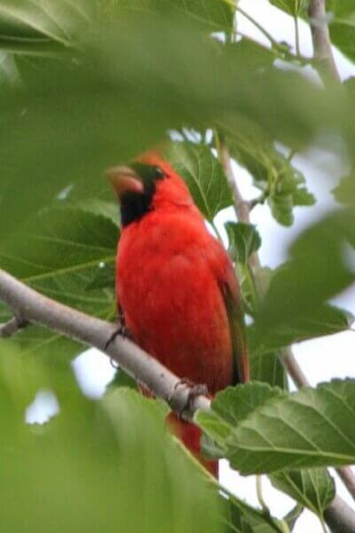 The Cardinal Has A Mate