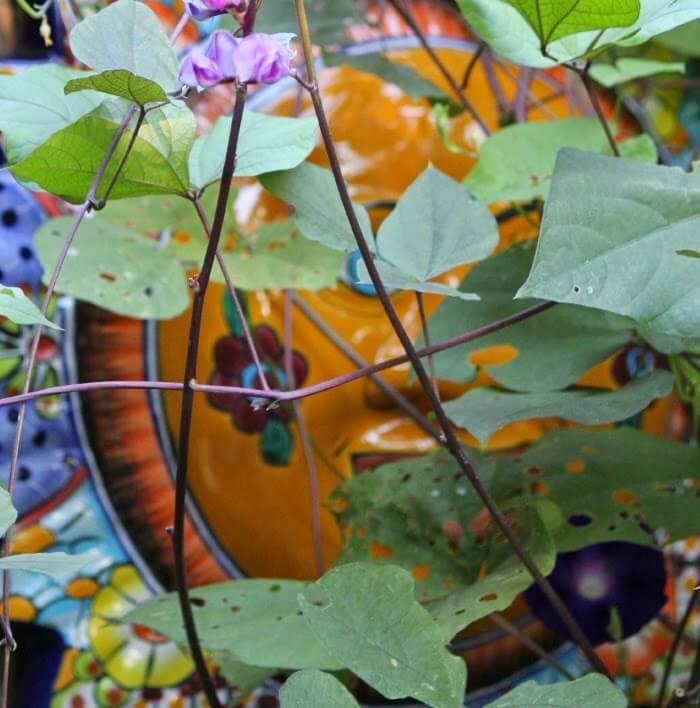 The Hyacinth Bean Vine Is Blooming