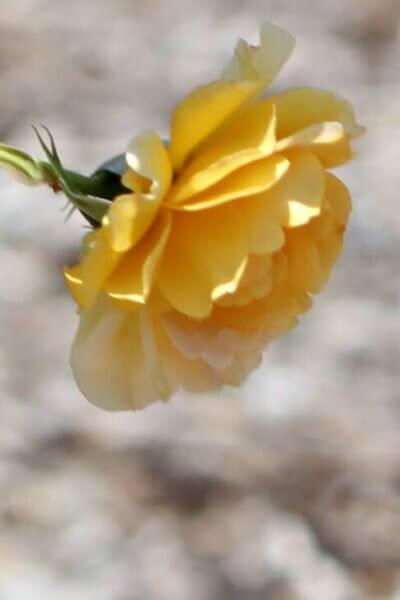 A Walk At The Rose Garden