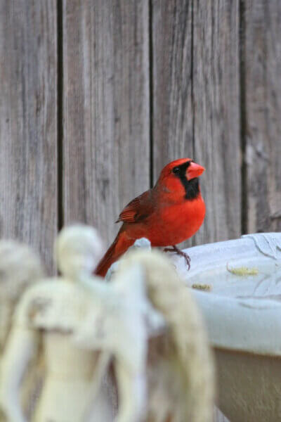 The Patio Cardinal & Back To The Book Club