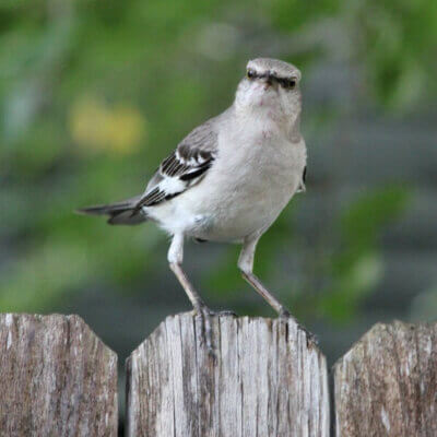 Mad Mockingbirds & The End Of The Gazebo