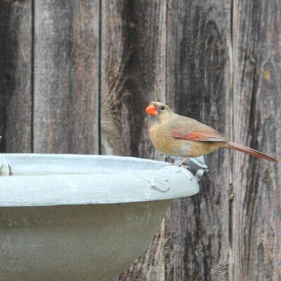 A Bevy Of Yard Birds