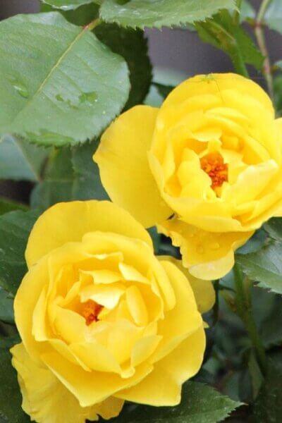 Roses & Veggies