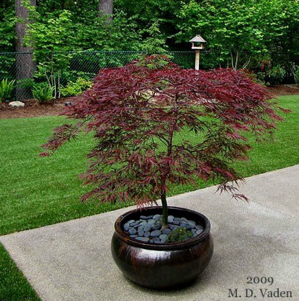 Growing Japanese Maples In Containers Cozy Little House