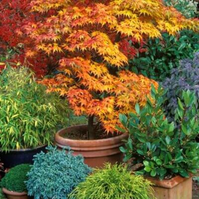 Growing Japanese Maples In Containers