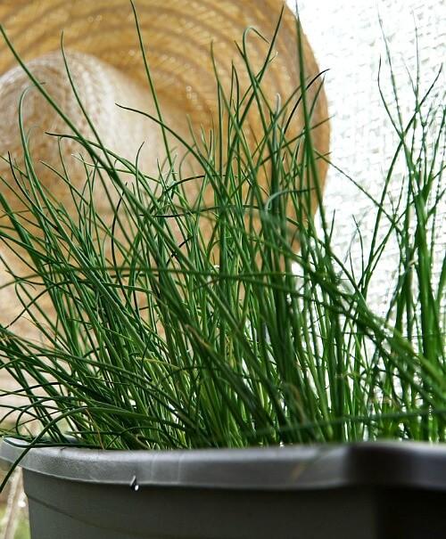 Best Herbs Grow Indoors Year Round