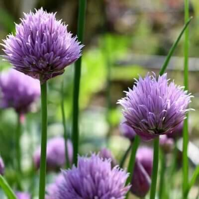 10 Reasons To Grow Chives In Your Garden