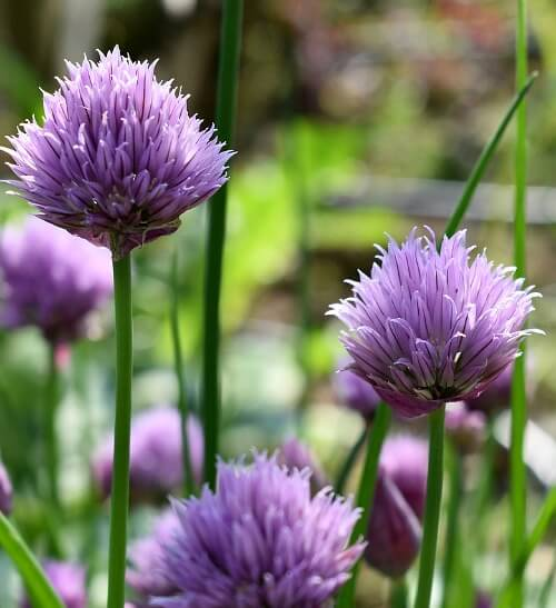 chives plant