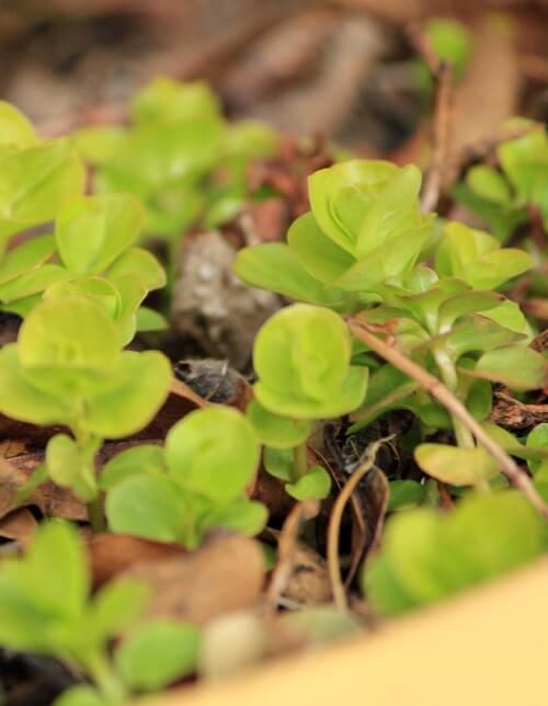 creeping jenny plant