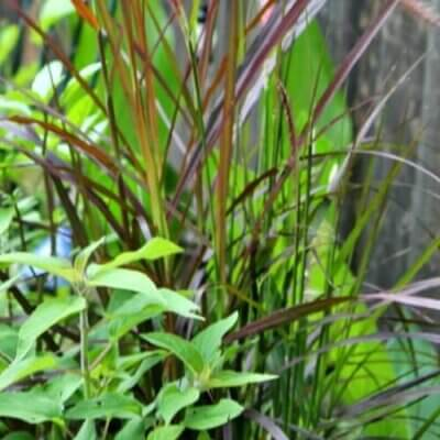 Planting Ornamental Grass In Containers