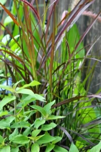 ornamental grass pot