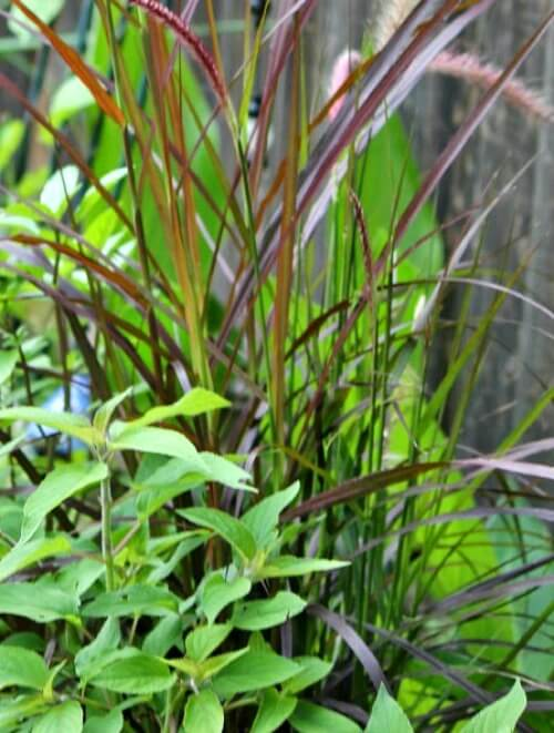 ornamental grass pot