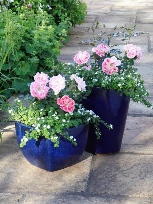 pink container roses
