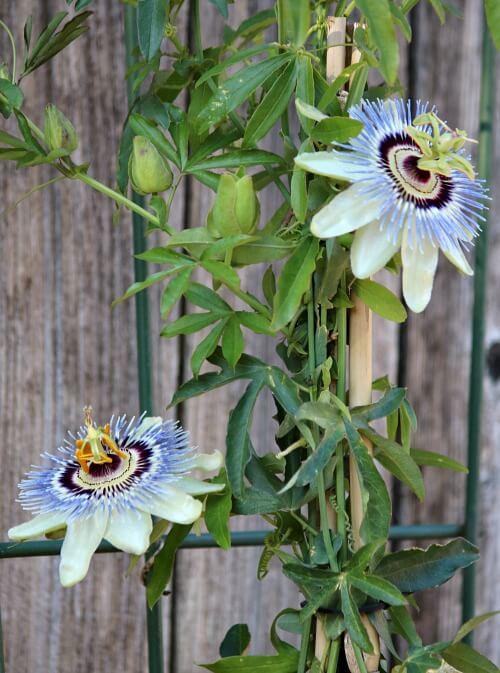 passion vine flowers