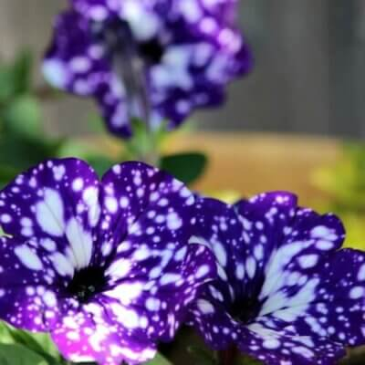 Using Shades Of Purple In The Garden