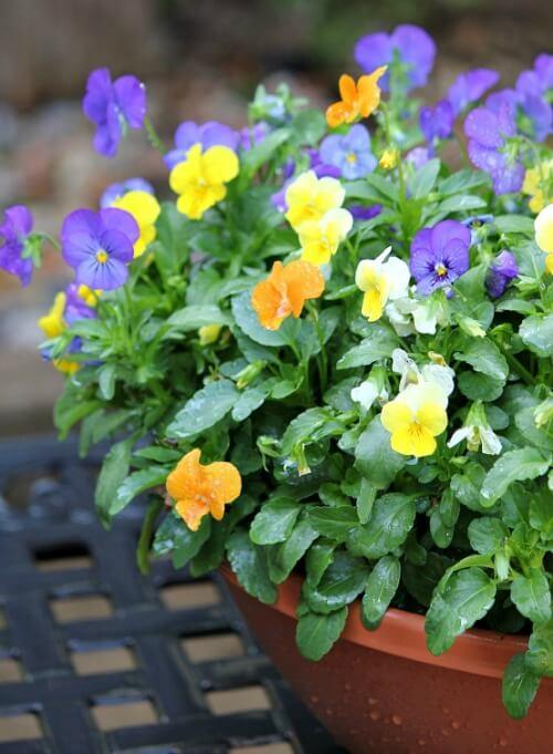 pot of petunias