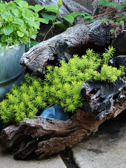 driftwood with sedum