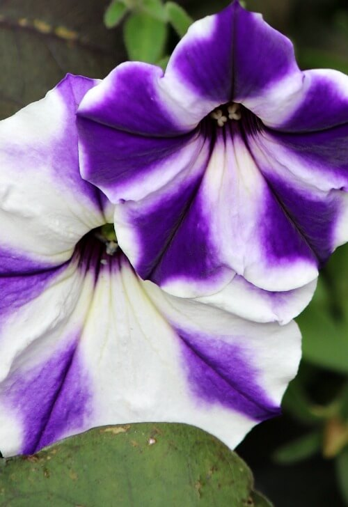 purple and white petunias