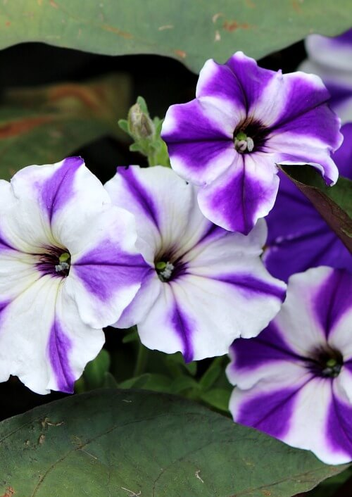 white and purple petunias