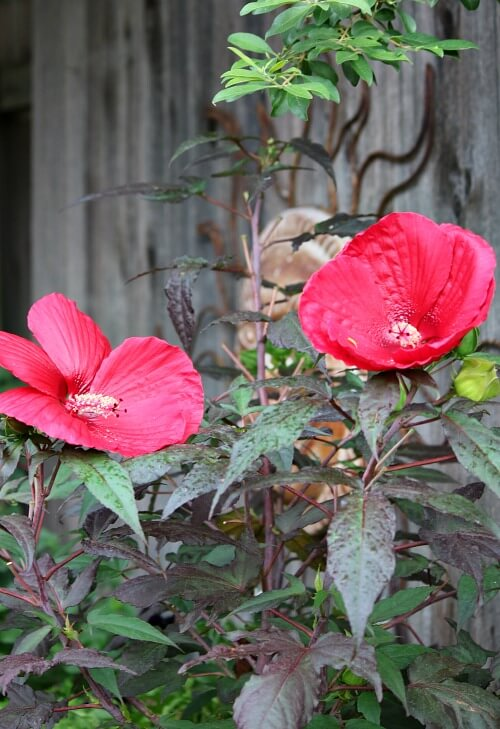 red hibiscus plant