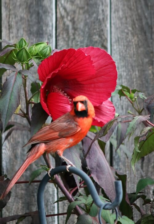 cardinal and hibiscus plant