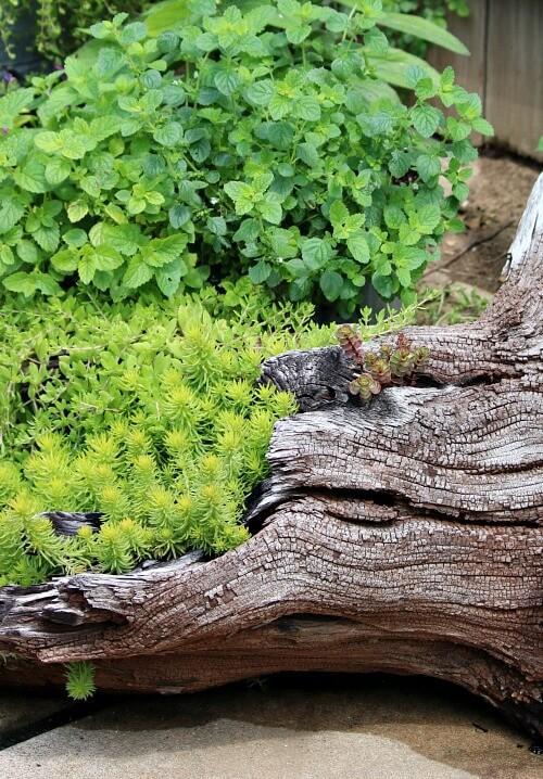 sedum in driftwood
