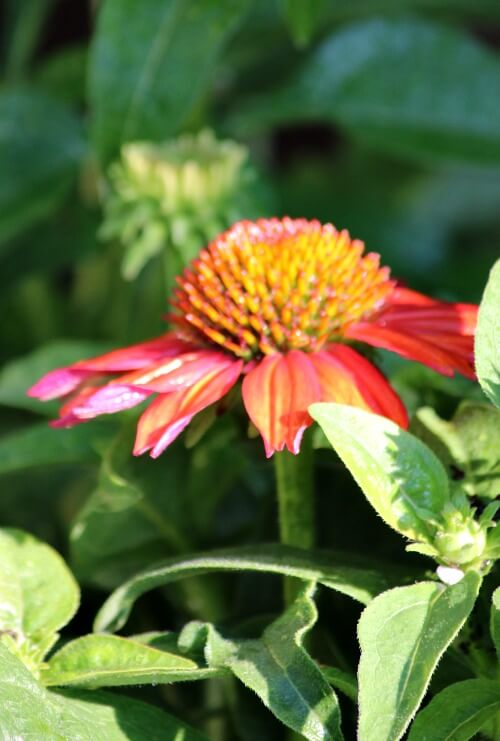 red cone flower