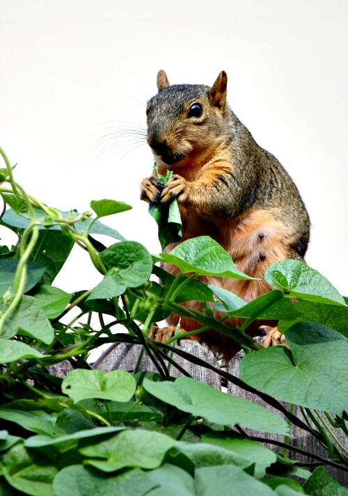 Squirrel eating morning glory leaves