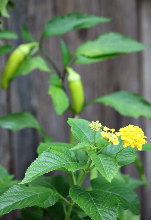 Lantana and pepper plants
