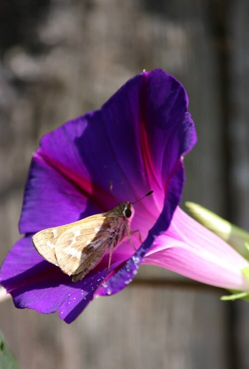 Morning glory flower with moth inside