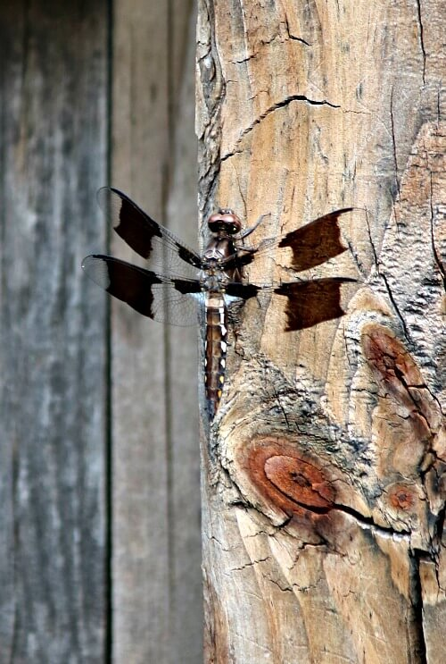 Dragonfly on my fence