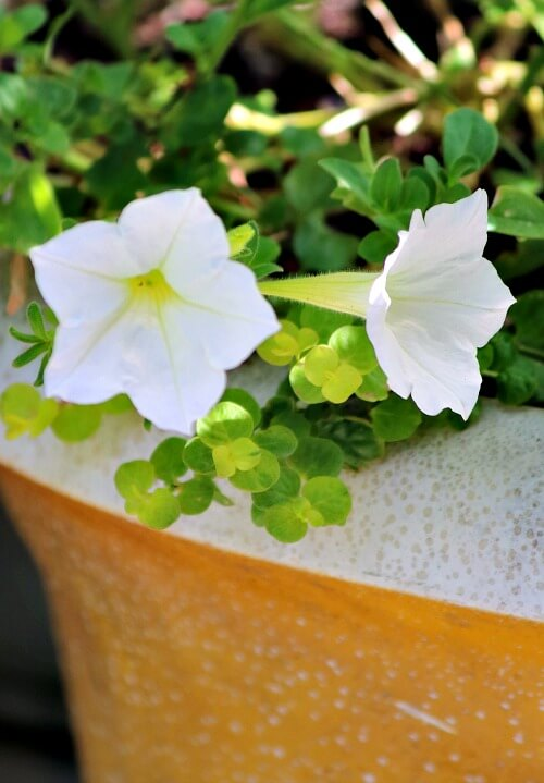 White petunias in a container on my patio