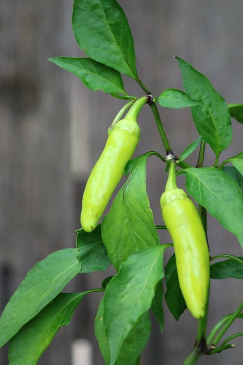 Peppers growing on my patio