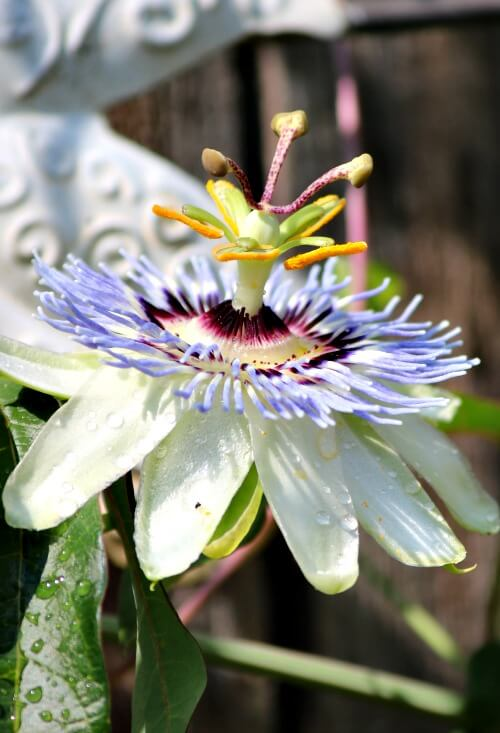 Passion flower vine flower on the fence
