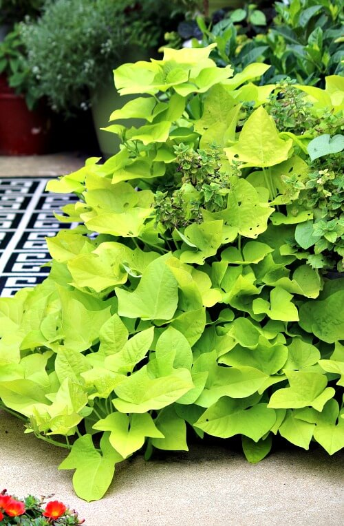 Green sweet potato vine on my patio