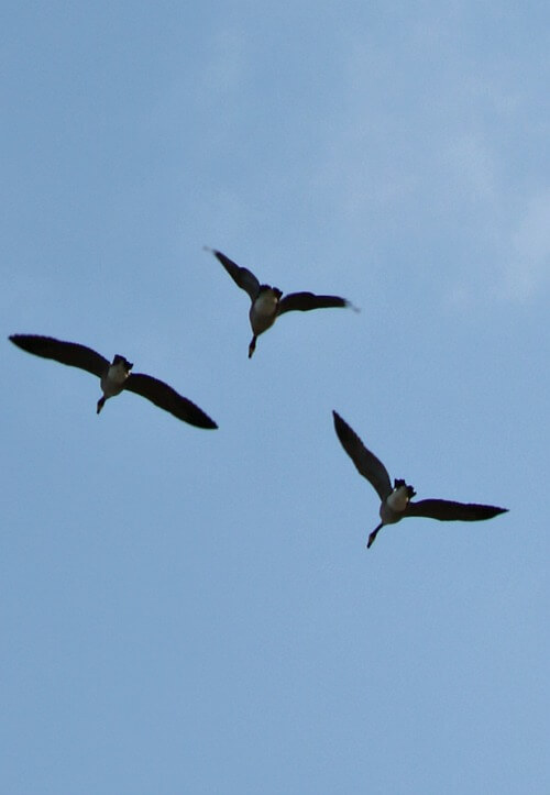 Ducks overhead