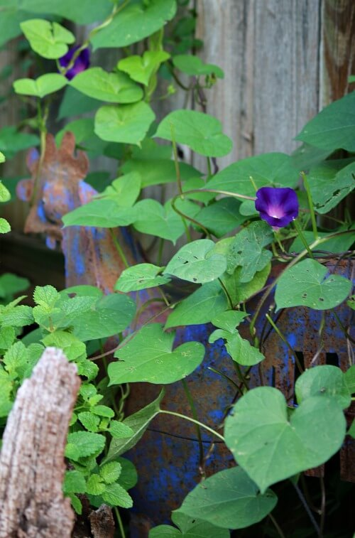 Morning glory vine and flower along my fence