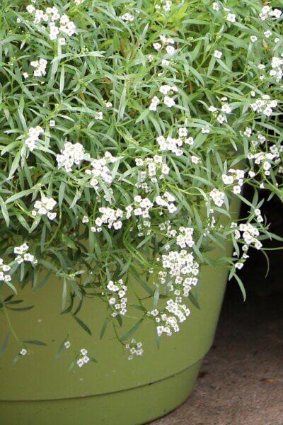 White allysum in a green pot