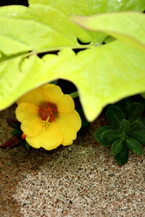 Yellow purslane peeking out from under green sweet potato vine