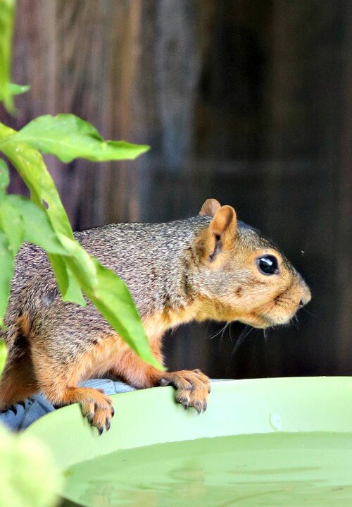 Squirrel drinking water on my patio