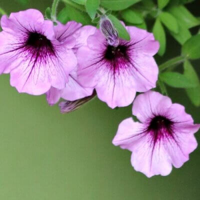Purple petunias in a container on my patio