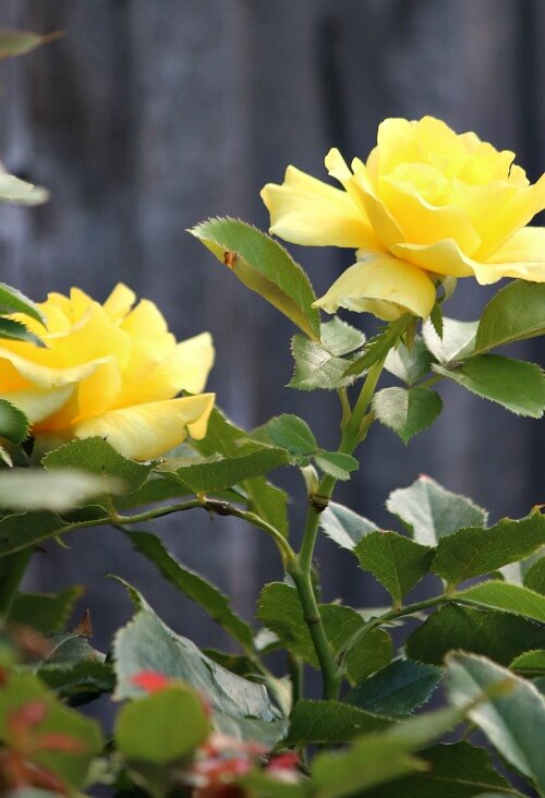 Yellow roses growing in a container on my patio