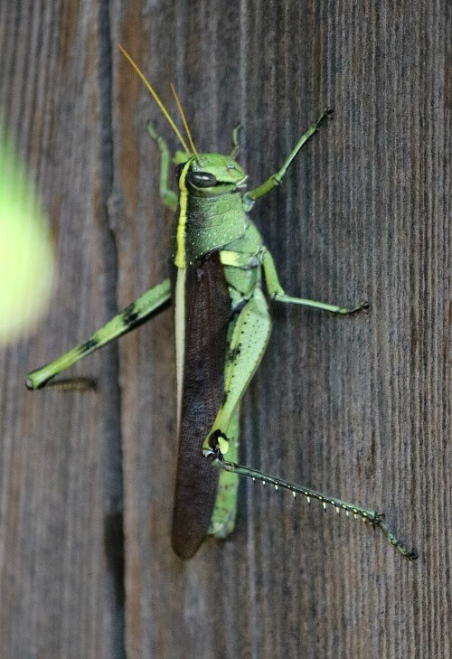 Green grasshopper on my fence