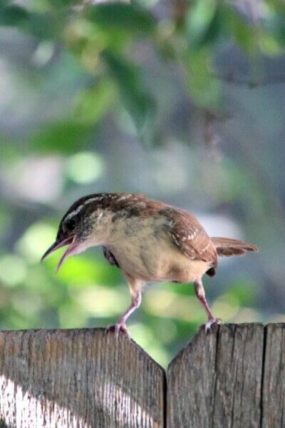 Little Bewick wren on the fence