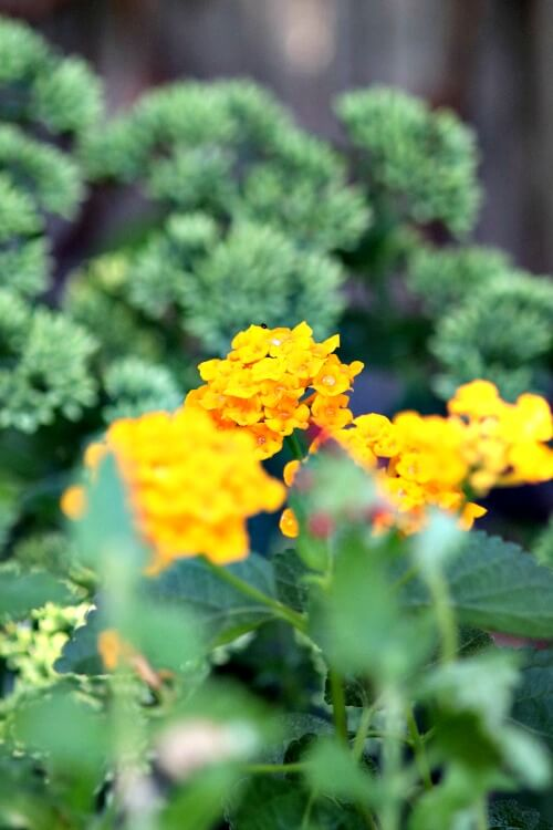 Gold lantana on my patio